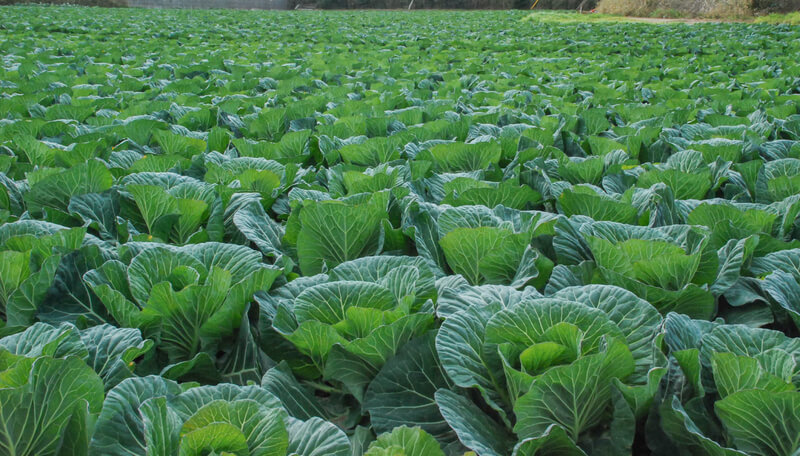 FreeImage_Lettuce